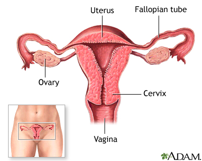 Female normal anatomy