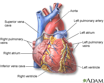 Heart, front view