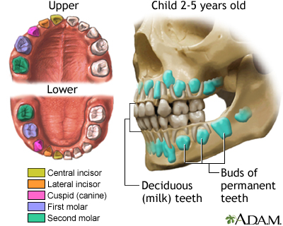 Development of baby teeth