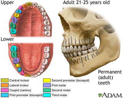 Development of permanent teeth