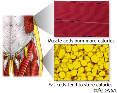 Muscle cells vs. fat cells