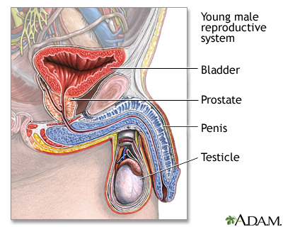 Young male reproductive system