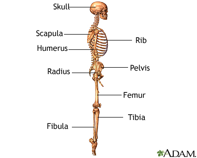 The skeleton (lateral view)