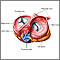 Heart valves - superior view
